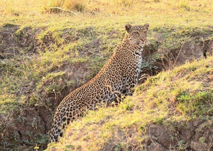 Leopard, South Luangwa National Park