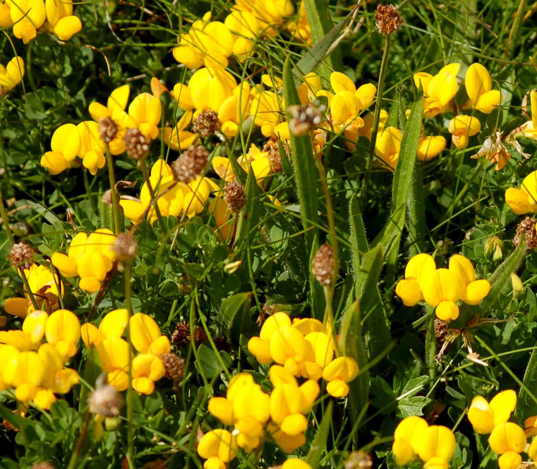 Art Safari Orkney, meadow vetch